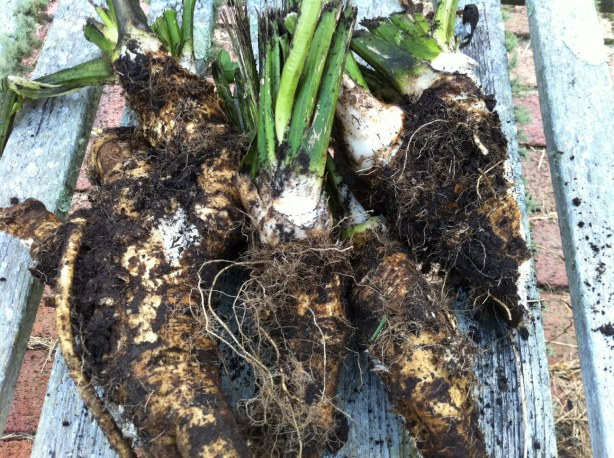 Freshly harvested horseradish roots