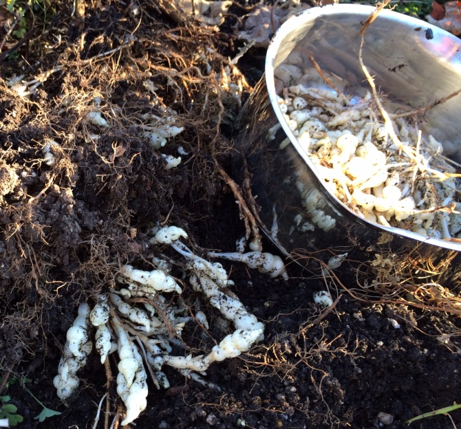 Harvesting crosnes in the garden. I leave the small tubers in the ground for next season's crop.