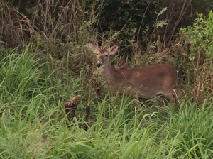 You can even find deer on St. John. Maybe this means venison on someone's menu soon?