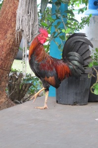 Donkeys, cows, iguanas, even mongooses roam the island. And the roosters pose for photos.