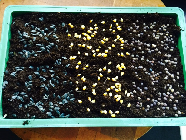 Seeds ready to sprout (from left to right): sunflower, popcorn, peas.