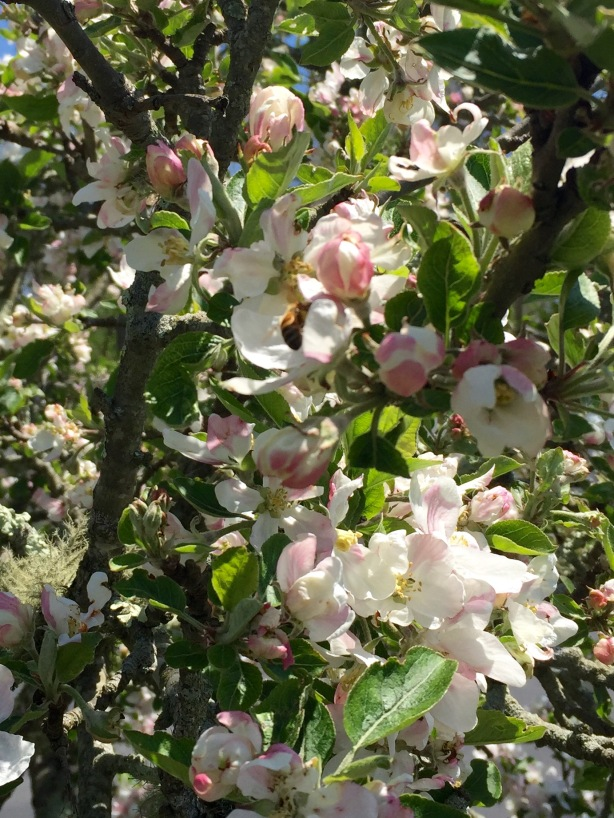 Happy bees buzzing around the blossoms of my old and still productive apple tree.