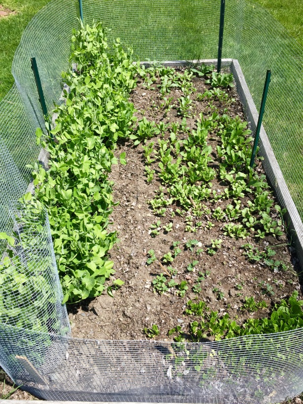 ...And a check on the first bed I sowed this season: peas on the left, happy arugula, Asian greens, spinach and more on the right.